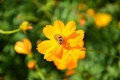 Flor floreciente con la abeja que busca la ligamaza Fotos de archivo