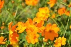 Flor floreciente con la abeja que busca la ligamaza Fotografía de archivo libre de regalías