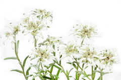 Flor floreciente de Edelweiss en blanco fotografía de archivo