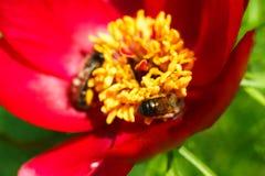 Flor floreciente de la abeja de la miel, fondo floral Fotos de archivo libres de regalías