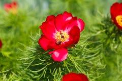 Flor floreciente de la abeja de la miel, fondo floral Imagen de archivo