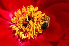 Flor floreciente de la abeja de la miel, fondo floral Foto de archivo