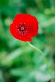 Flor floreciente de la amapola Fotos de archivo