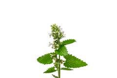 Flor floreciente de la hierbabuena en el fondo blanco Fotografía de archivo libre de regalías