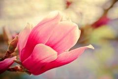 Flor floreciente de la magnolia Imagen de archivo libre de regalías