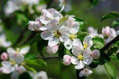 Flor floreciente de la manzana Imagen de archivo