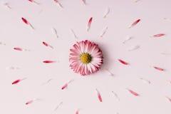 Flor floreciente de la margarita fotografía de archivo
