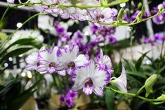 Flor floreciente de las orquídeas del Dendrobium con el fondo de la flor imagen de archivo