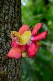 Flor floreciente del árbol del obús Fotografía de archivo