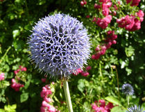 Flor floreciente del ajo de Afatunense del allium en jardín Imagen de archivo libre de regalías