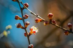Flor floreciente del albaricoque Foto de archivo libre de regalías