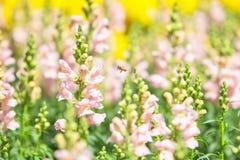 Flor floreciente del antirrino Fotografía de archivo libre de regalías