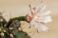 Flor floreciente del cacto Imagenes de archivo
