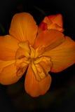Flor floreciente del camelia Imagen de archivo libre de regalías