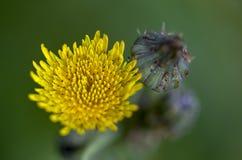 Flor floreciente del diente de león y un brote fotografía de archivo libre de regalías