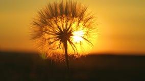 flor floreciente del diente de le?n en la salida del sol Primer Diente de le?n en el campo en el fondo de una puesta del sol herm