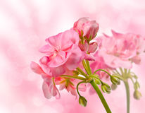 Flor floreciente del geranio en un bokeh del fondo imagen de archivo