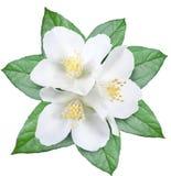 Flor floreciente del jazmín con las hojas Fotografía de archivo libre de regalías
