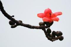 Flor floreciente del kapoc en resorte fotografía de archivo libre de regalías