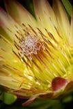 Flor floreciente del protea Fotos de archivo