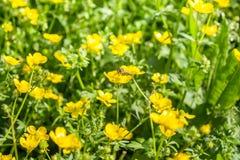Flor floreciente en la primavera, abeja, ranúnculo, araña, Foto de archivo libre de regalías