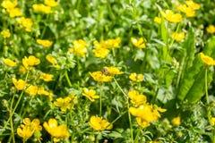 Flor floreciente en la primavera, abeja, ranúnculo, araña, ranúnculo Imagen de archivo