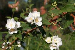 Flor floreciente floreciente de los flores de las flores del manzano Foto de archivo libre de regalías