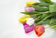Flor floreciente hermosa del tulipán Fondo del diseño floral?, contexto, diseño de la ilustración Fondo de la naturaleza Fondo de Fotografía de archivo