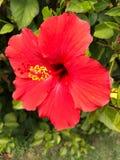 Flor floreciente roja Imágenes de archivo libres de regalías