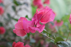 Flor floreciente rosada tailandesa foto de archivo