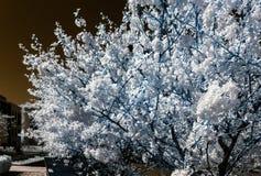 Flor, flores y sol del árbol de Chery, infrarrojos Foto de archivo libre de regalías