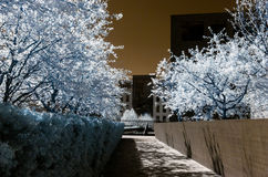 Flor, flores y sol del árbol de Chery, infrarrojos Foto de archivo
