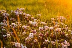 A flor floresce em um prado com luz brilhante do por do sol Imagem de Stock
