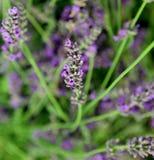 flor florescida da alfazema Imagem de Stock Royalty Free
