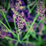 flor florescida da alfazema com efeito Imagem de Stock Royalty Free