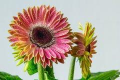 Flor florida del gerbera en colores soleados Imagen de archivo libre de regalías