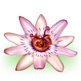 Flor fotorrealista de la pasión ilustración del vector