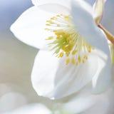 Flor frágil puro hermoso de la primavera Fotos de archivo