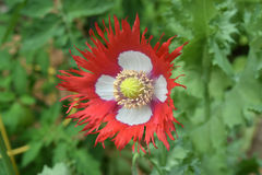 Flor franjada da papoila Fotos de Stock