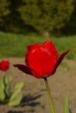 Flor franjada rojo del tulipán Imagen de archivo