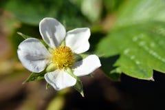 Flor; fresa Fotos de archivo