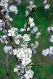 A flor fresca da árvore de cereja da mola floresce o close-up no backgr do borrão Foto de Stock Royalty Free
