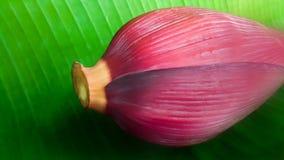 Flor fresca da banana na folha da banana Imagem de Stock