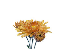 Flor fresca da manhã. ilustração do vetor