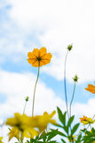 Flor fresca da margarida Imagens de Stock Royalty Free