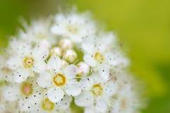 Flor fresca da mola Imagem de Stock Royalty Free