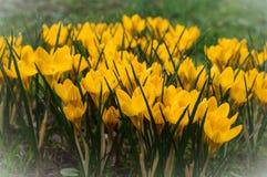 Flor fresca de açafrões amarelos Fotografia de Stock