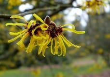 Flor fresca de la bruja-avellana Foto de archivo libre de regalías