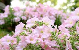 Flor fresca de la petunia Fotografía de archivo