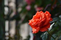 Flor fresca de la rosa del rojo en jardín fotografía de archivo